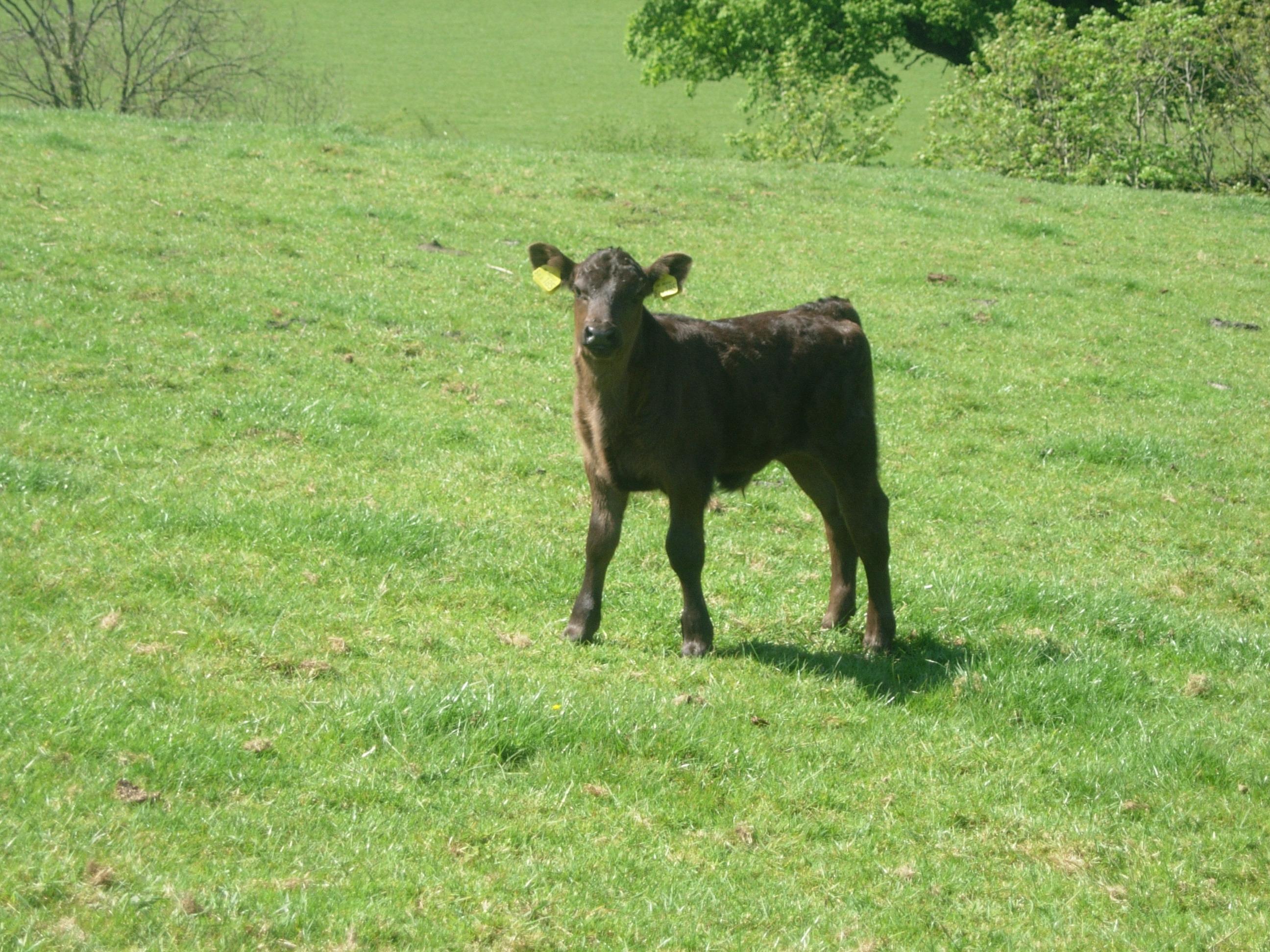 Aberdeen Angus calf