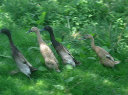 Fawn Indian Runner Ducks