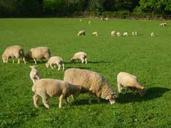 Poll Dorset ewes and lambs