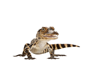 baby-alligator-png-1 copy.png