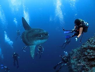 Mola-mola2.jpg