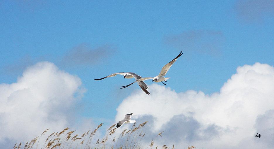 Gull Trio 2