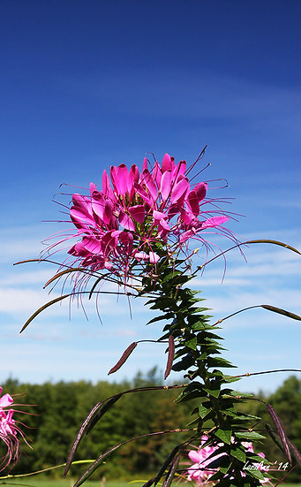 Leaning Cleome