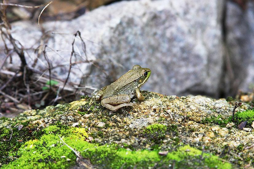 Garden Frog 1