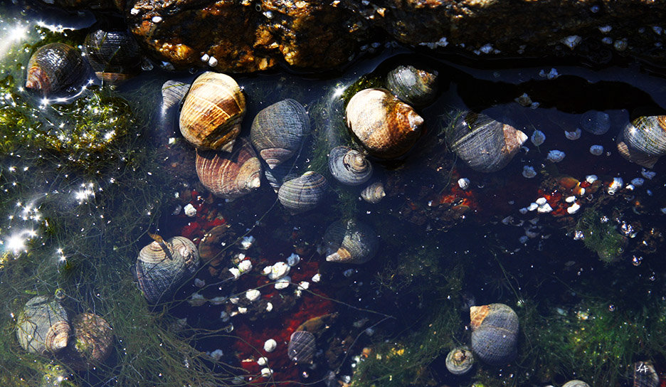 Tide Pool Snails