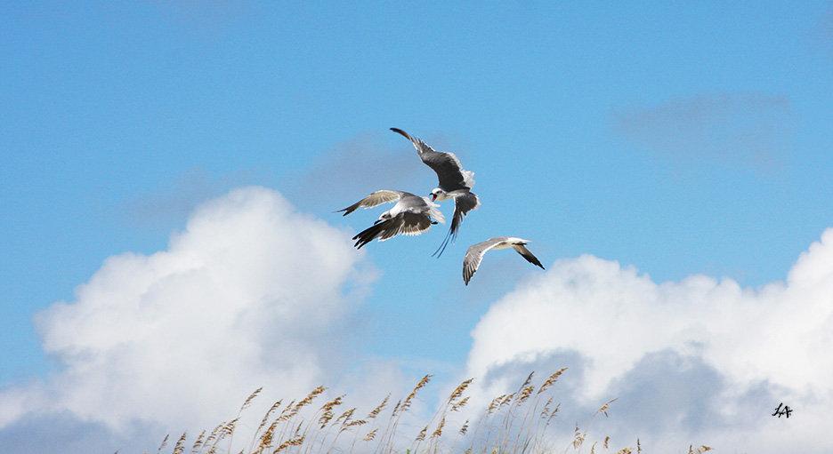 Gull Trio 4
