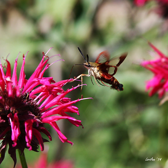 Hummingbird Clearwing & Bee Balm 5