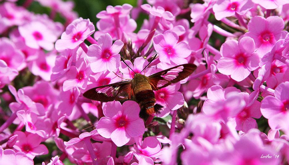 Hummingbird Clearwing & Phlox 5