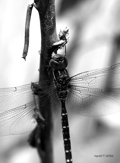 Contrast Dragonfly