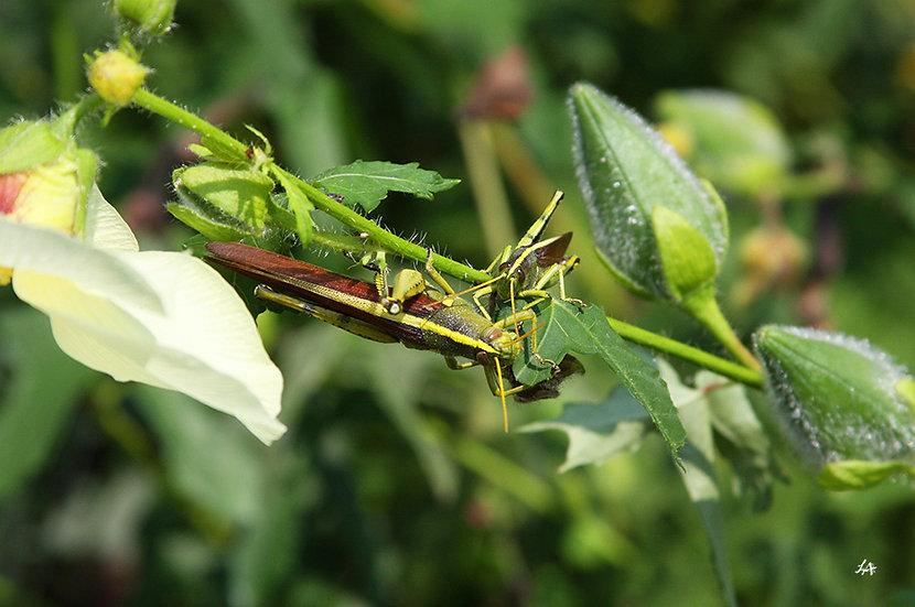 Grasshopper Pair 2