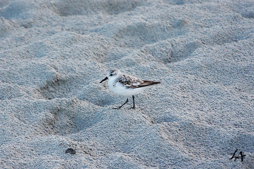 Sand Piper at First Light