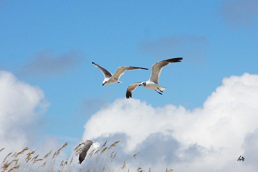 Gull Trio 3