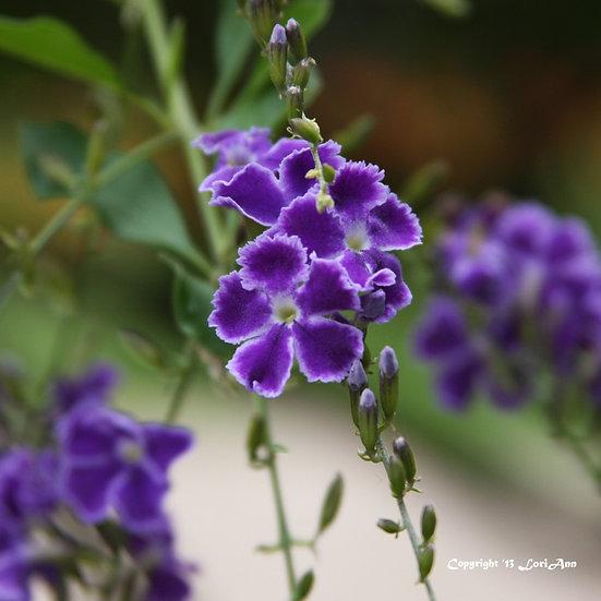 Duranta Tree Flowers