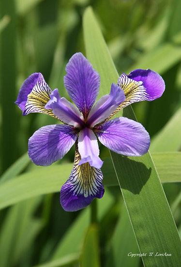 Wild Iris Series No. 1