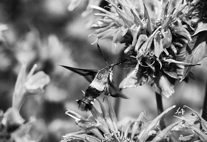 Clearwing Moth in B&W 4