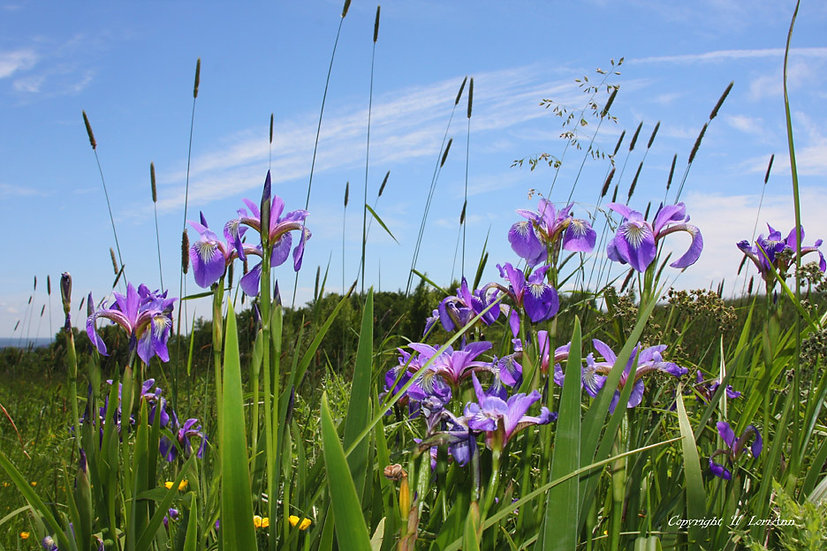 Wild Iris Series No. 5