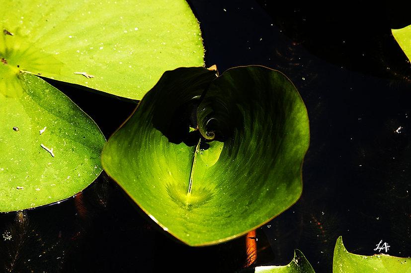 Unfurling Lily Pad