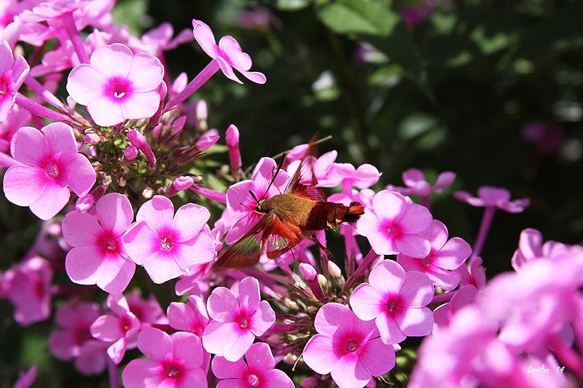 Hummingbird Clearwing & Phlox 6