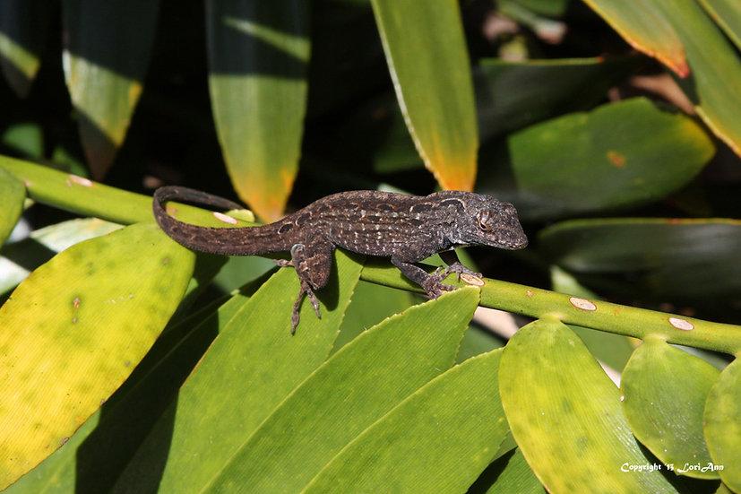 Lizard Sunning 1
