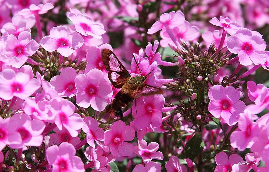 Hummingbird Clearwing & Phlox 1