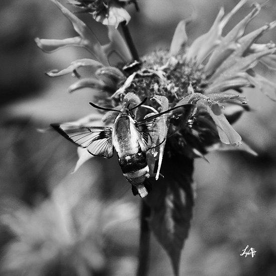 Clearwing Moth in B&W 1