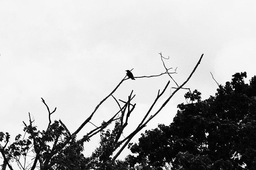 Crow Watching