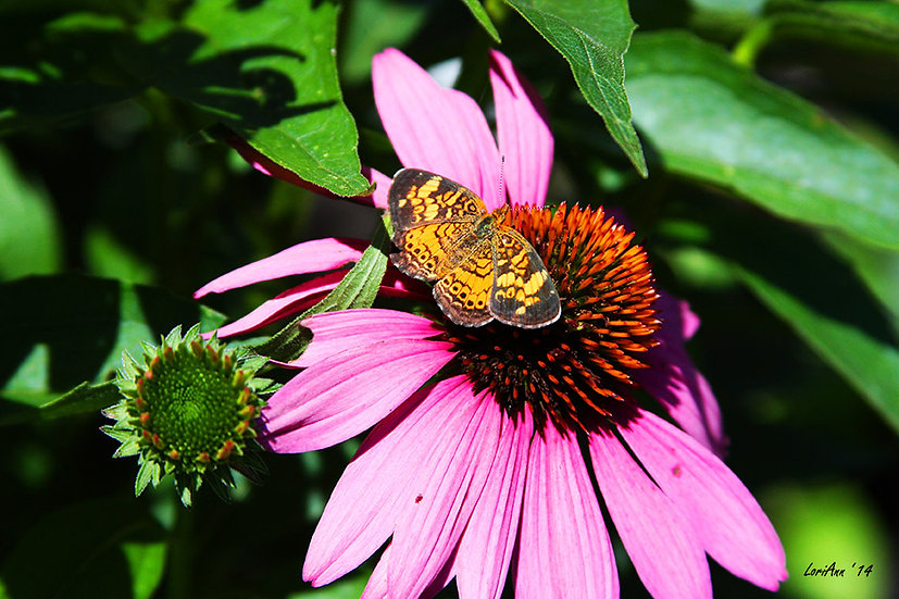 Sitting on a Coneflower