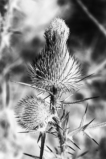 Spiked Thistle