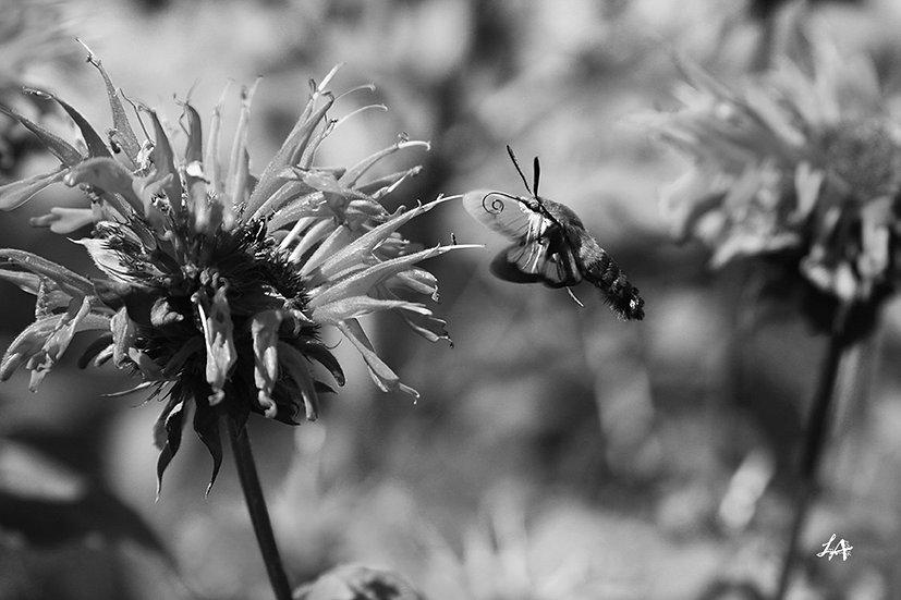 Clearwing Moth in B&W 3