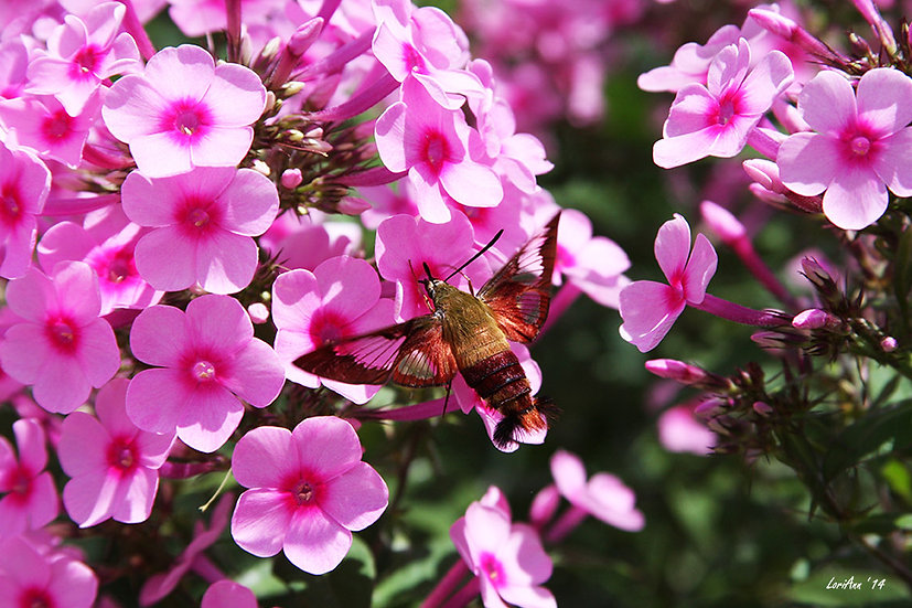 Hummingbird Clearwing & Phlox 2