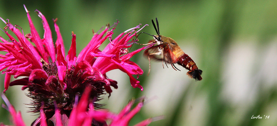 Hummingbird Clearwing & Bee Balm 3