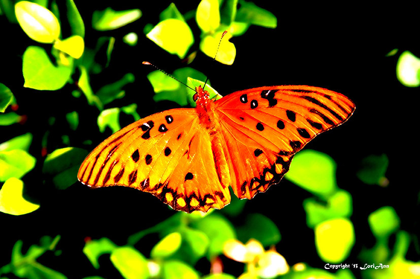 Butterfly Saturation