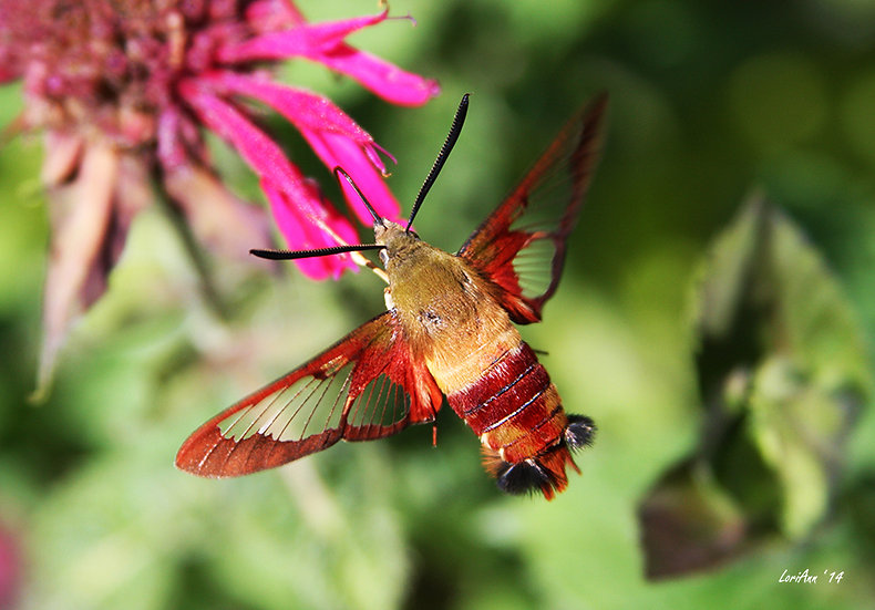 Hummingbird Clearwing & Bee Balm 1