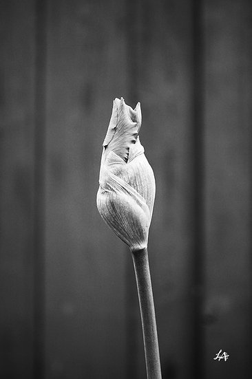 Unbloomed (B&W)