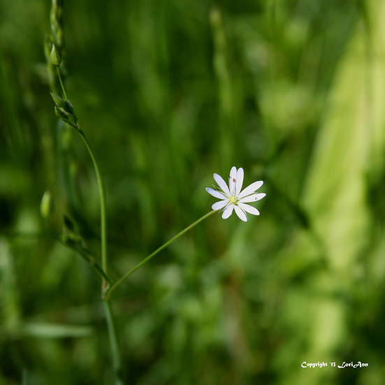 Small Wildflower - White
