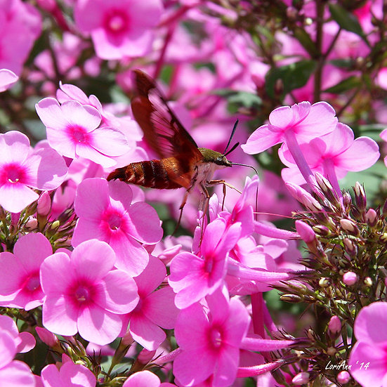 Hummingbird Clearwing & Phlox 3
