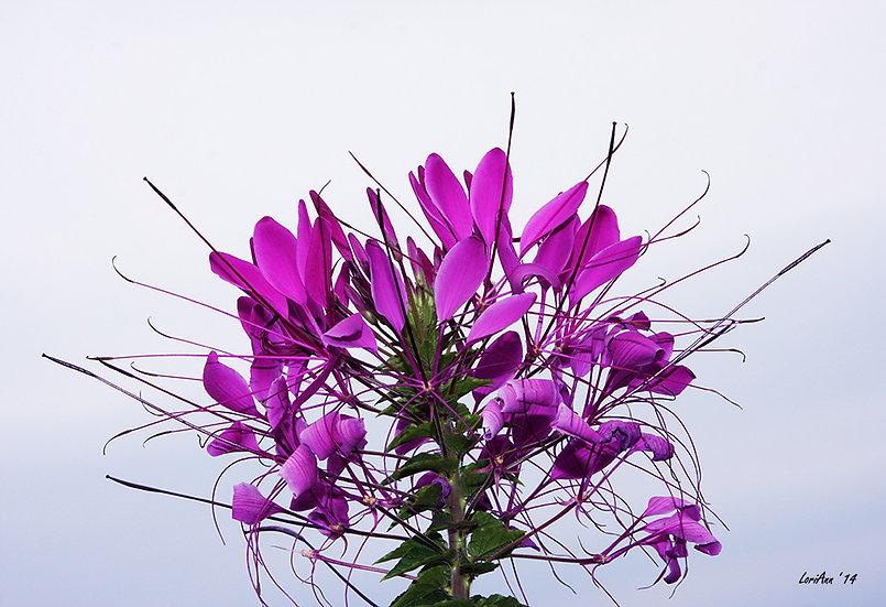 Spider Flower - CloseUp