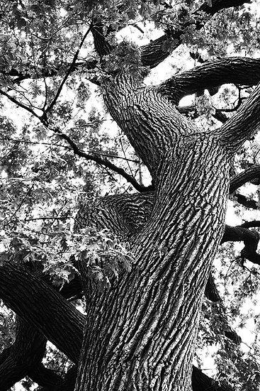 Up A Salem Tree