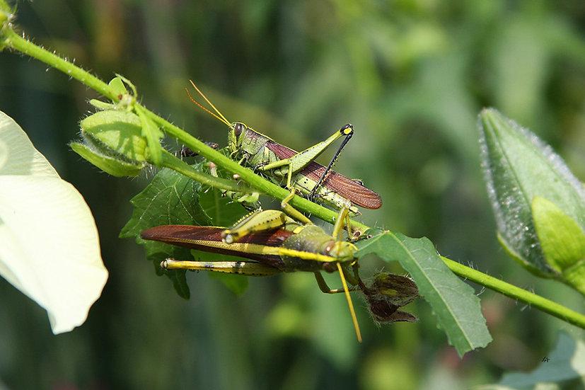 Grasshopper Pair 1