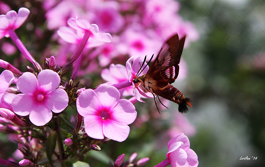 Hummingbird Clearwing & Phlox 4