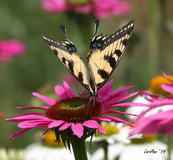 Wings on a Pink Daisy