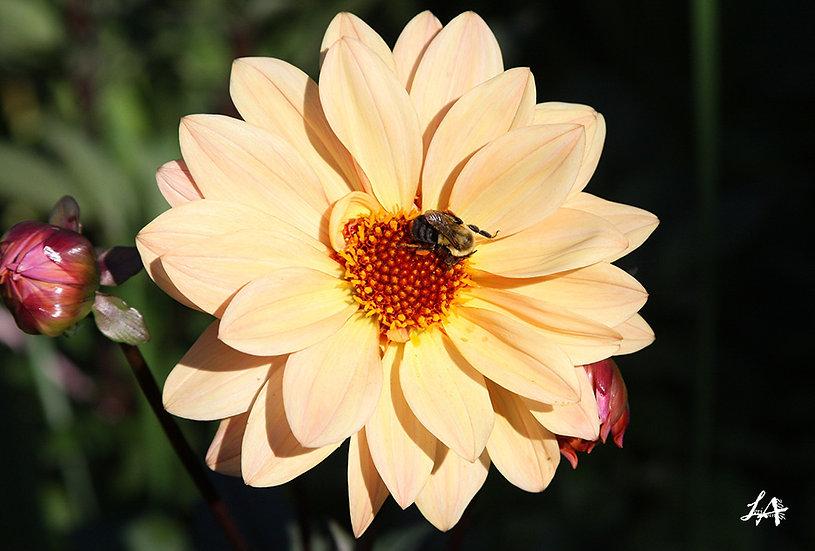 Bee Pollination 3