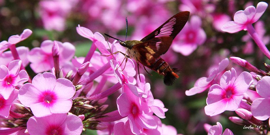 Hummingbird Clearwing & Phlox 7