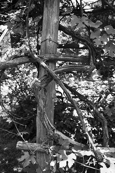 Trellis Vines