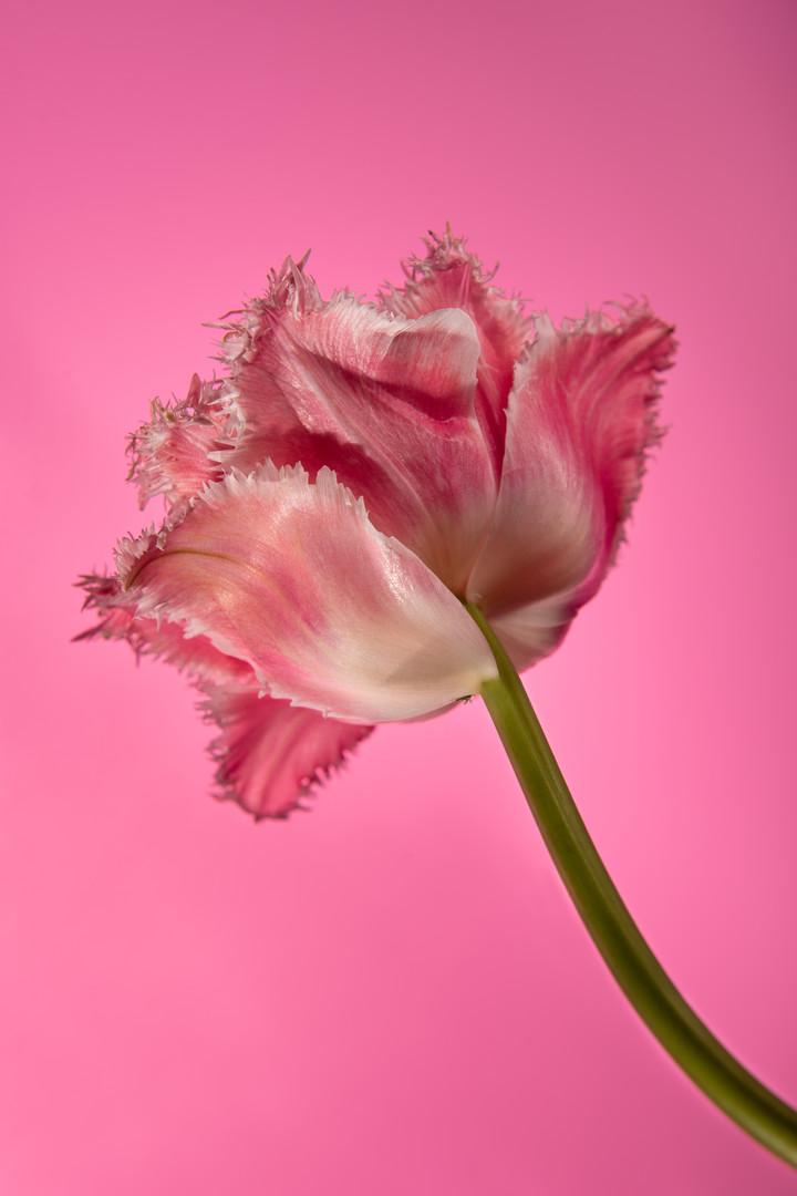 Tulip Prend Garde