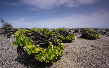 food santorini vines cyclades copy.jpg
