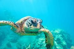 sea turtle blue greece zakynthos ionian