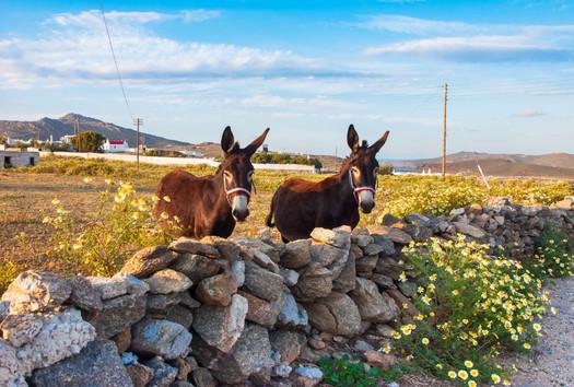 donkeys stone wall greece cyclades greec