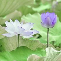 lotus+flowers.jpg