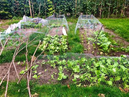Markus Anecdotes - Growing Veggie